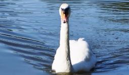 Swan_highkey